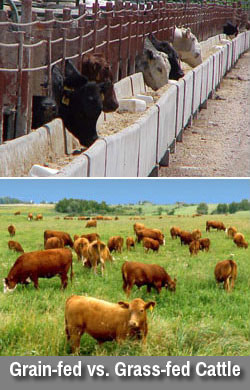 Types of Fats: Grain-fed Vs. Grass-fed Cattle